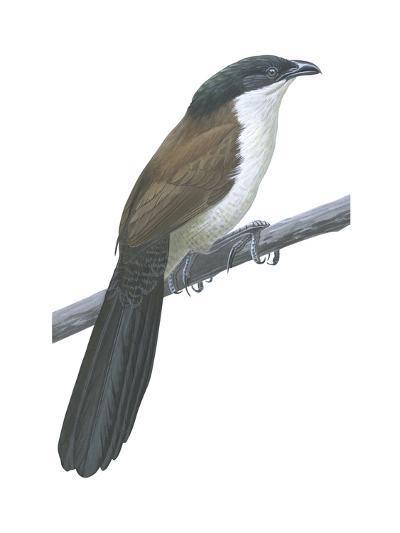 Senegal Coucal (Centropus Senegalensis), Birds-Encyclopaedia Britannica-Art Print