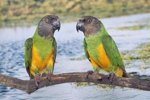 Senegal Parrot Two