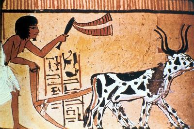 Sennutem Ploughing with Cattle, Ancient Egyptian Tomb Painting, New Kingdom (1550-1069 B)--Giclee Print