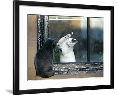 Separated by a Pane of Glass, a White Cat Tries to Play with a Black Cat--Framed Photographic Print
