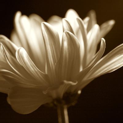 Sephora Flower--Art Print