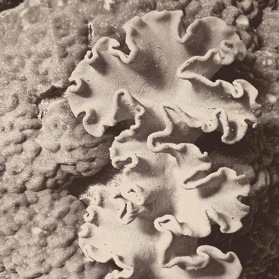 Sepia Barrier Reef Coral IV-Kathy Mansfield-Photographic Print
