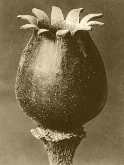 Sepia Botany Study I-Vision Studio-Art Print