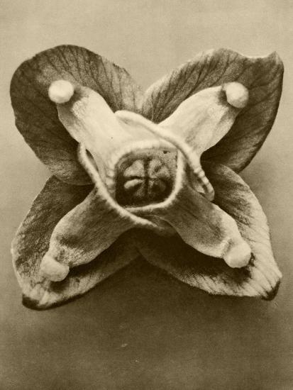 Sepia Botany Study V-Vision Studio-Art Print