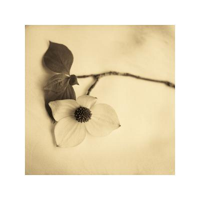 Sepia Dogwoods I-Heather Johnston-Giclee Print
