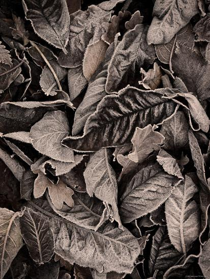 Sepia Leaves-Tim Kahane-Photographic Print