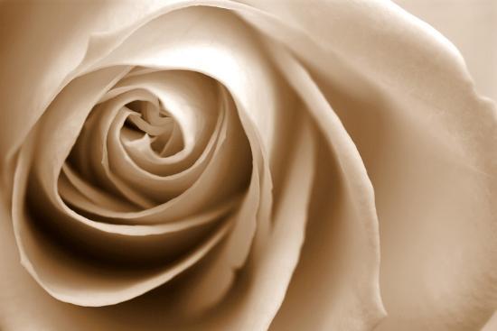 Sepia Rose 01-Tom Quartermaine-Giclee Print