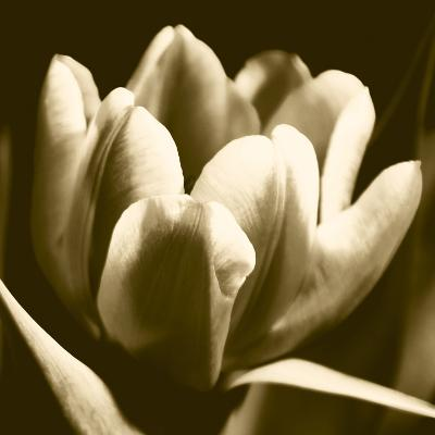 Sepia Tulip I-Renee W^ Stramel-Art Print