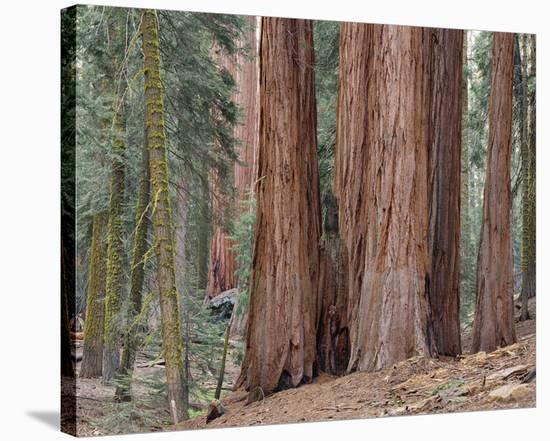Sequoia General Sherman Grove 3-Danny Burk-Stretched Canvas Print
