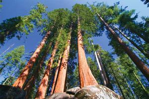 Sequoia National Park I