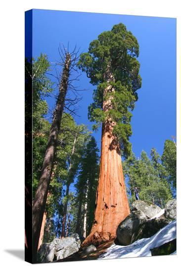 Sequoia National Park II--Stretched Canvas Print