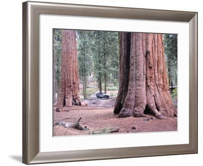Sequoia Trees 1-NaxArt-Framed Art Print