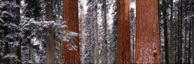 Sequoia Trees Sequoia National Park Ca, USA--Photographic Print