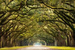 A Stunning, Long Path Lined with Ancient Live Oak Trees Draped in Spanish Moss in the Warm, Late Af by Serge Skiba