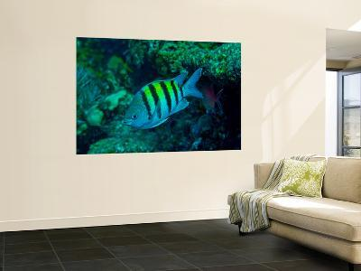 Sergeant Major Damselfish-Stocktrek Images-Wall Mural