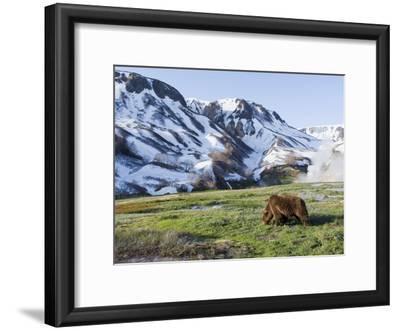 Brown Bear (Ursus Arctos) Foraging, Kamchatka, Russia