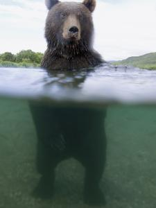 Brown Bear (Ursus Arctos) in River, Kamchatka, Russia by Sergey Gorshkov/Minden Pictures