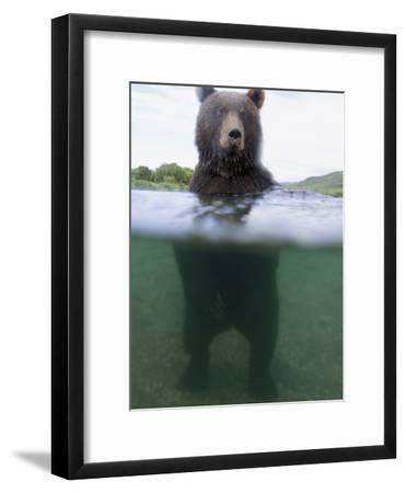 Brown Bear (Ursus Arctos) in River, Kamchatka, Russia