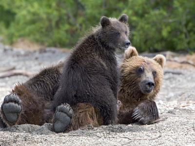 Brown Bear (Ursus Arctos) Mother and Cub, Kamchatka, Russia