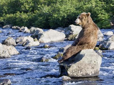 Brown Bear (Ursus Arctos) Sitting on Rock in River, Kamchatka, Russia
