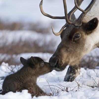 Caribou (Rangifer Tarandus) Mother and Calf Nuzzling, Kamchatka, Russia