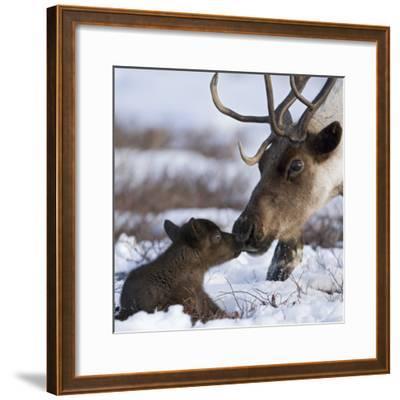 Caribou (Rangifer Tarandus) Mother and Calf Nuzzling, Kamchatka, Russia