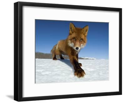 Red Fox (Vulpes Vulpes) on Snow, Kamchatka, Russia