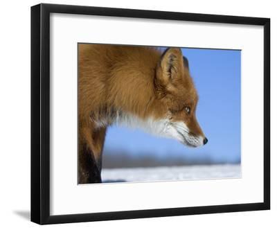 Red Fox (Vulpes Vulpes) Profile, Kamchatka, Russia