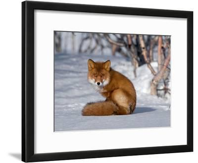 Red Fox (Vulpes Vulpes) Sitting on Snow, Kamchatka, Russia