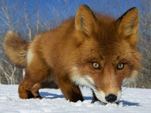 Red Fox (Vulpes Vulpes) Smelling Snow, Kamchatka, Russia by Sergey Gorshkov/Minden Pictures