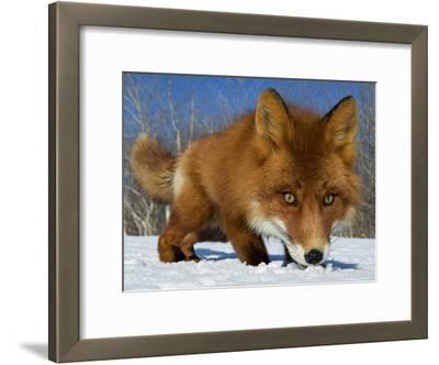 Red Fox (Vulpes Vulpes) Smelling Snow, Kamchatka, Russia