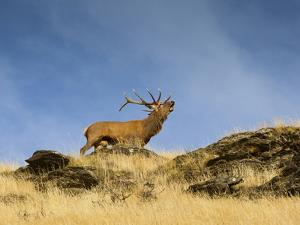 A Large Red Deer  (Cervus Elaphus) Stag Bellows Loudly  on a Tus by Sergio Ballivian