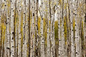 Aspen Trees and Scrub Oak Create Swaths of Color in the West Elk Mountains in Sw Colorado by Sergio Ballivian