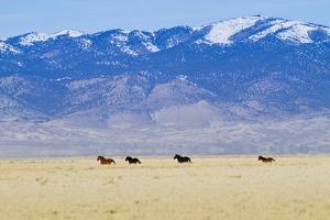 Wild Horses Galloping in Nevada by Sergio Ballivian