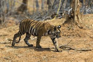 A Bengal tiger (Panthera tigris tigris) walking, Bandhavgarh National Park, Madhya Pradesh, India, by Sergio Pitamitz