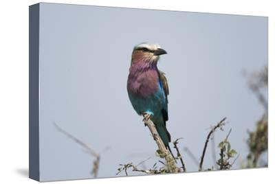 A Lilac-Breasted Roller, Coracias Caudata, Perched on the Branch of a Tree