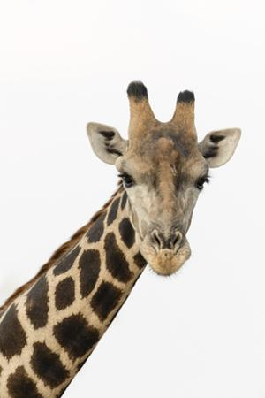 A portrait of a southern giraffe, Giraffa camelopardalis, looking at the camera. by Sergio Pitamitz