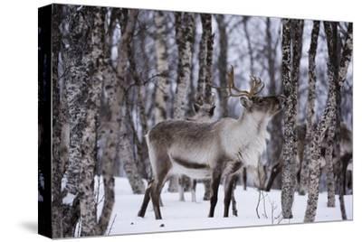 A Reindeer, Rangifer Tarandus, in a Snowy Forest