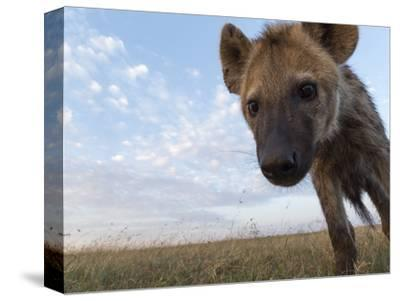 A Remote Camera Captures a Spotted Hyena, Crocuta Crocuta