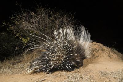 A Remote Camera Trap Captures a Porcupine Kalama Conservancy, Samburu, Kenya