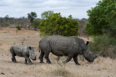 A White Rhinoceros Cub, Ceratotherium Simium, Following it Mother by Sergio Pitamitz