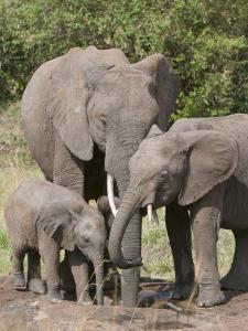 African Elephants and Baby (Loxodonta Africana), Masai Mara National Reserve, Kenya by Sergio Pitamitz