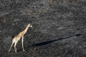 An aerial view of a giraffe (Giraffe camelopardalis) walking in the Okavango Delta after a bushfire by Sergio Pitamitz