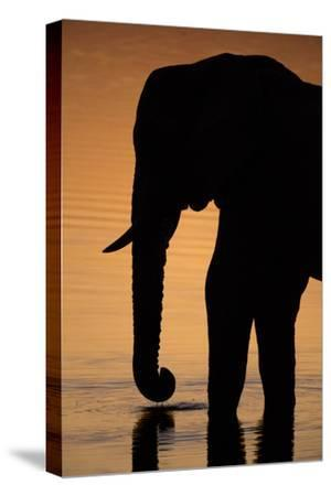 An African Elephant, Loxodonta Africana, Drinking in the Khwai River at Sunset