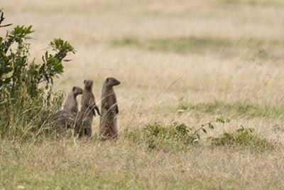 Banded Mongooses, Mungos Mungos, Standing on their Hind Feet