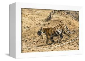 Bengal tiger (Panthera tigris tigris), Bandhavgarh National Park, Madhya Pradesh, India, Asia by Sergio Pitamitz