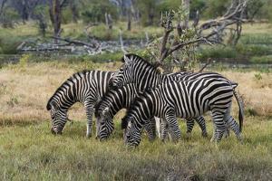 Burchell's zebra (Equus burchellii), Khwai Concession, Okavango Delta, Botswana, Africa by Sergio Pitamitz