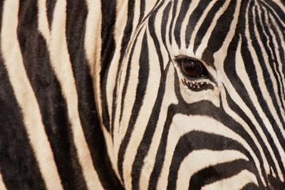 Burchell's Zebra (Equus Burchellii)