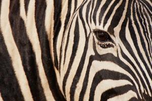 Burchell's Zebra (Equus Burchellii) by Sergio Pitamitz