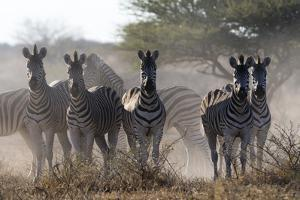 Burchell's zebra (Equus quagga burchellii) looking at the camera, Botswana, Africa by Sergio Pitamitz